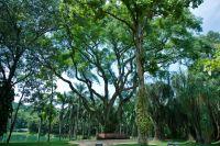 Árvore Tamboril